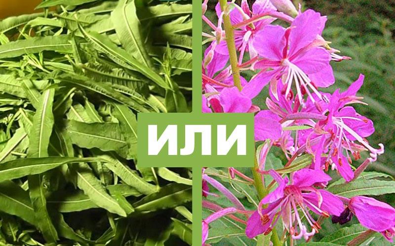 Иван-чай: листья или цветы