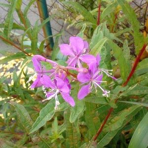 цветки иван-чая фото