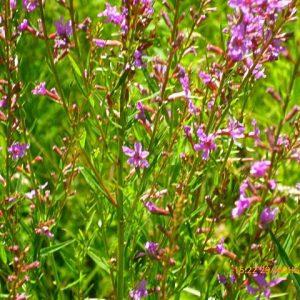 растения иван-чай