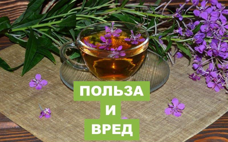 Иван-чай: польза и вред для здоровья человека