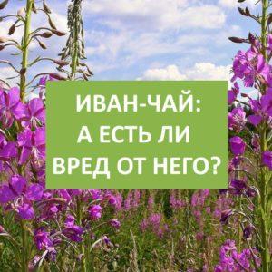 Иван-чай: может ли оказать вред на организм?