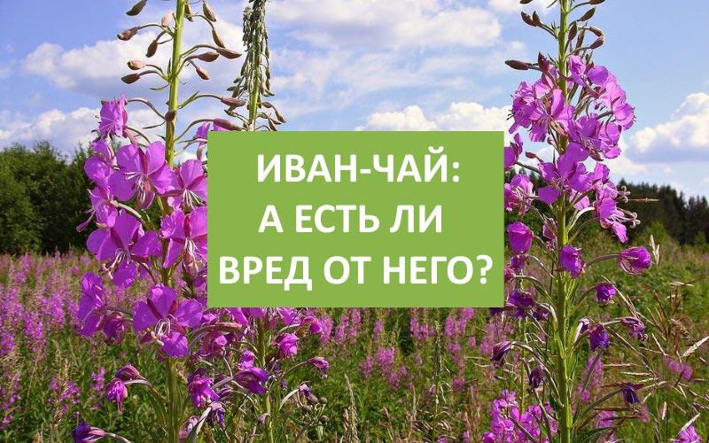 Иван-чай: вред на организм