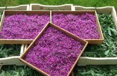Кипрей иван-чай: заготовка и ее компоненты