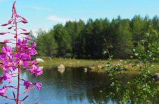 Лечебные свойства травы Иван-чай. Главное, о чем нужно знать