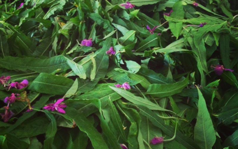 Методы заготовки растения для длительного хранения