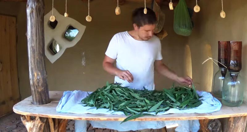 Подготовка Иван-чая к засушиванию