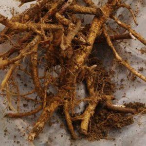 Главные полезные свойства корня иван-чая