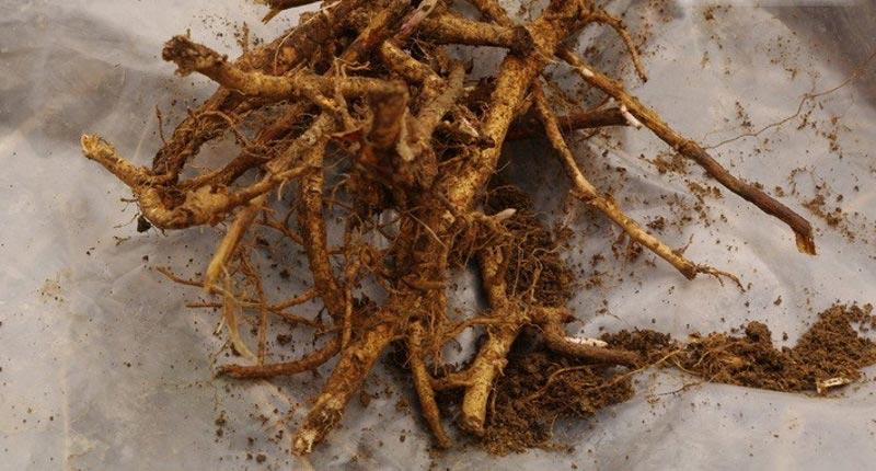 Полезные свойства корня иван-чая