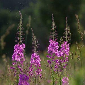 Противопоказания иван-чая или кипрея: кому лекарственная чудо-трава не подходит