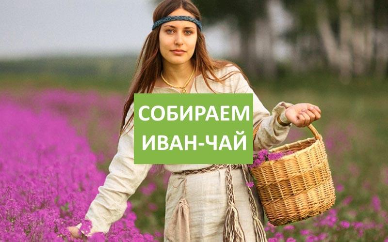 Как собирать Иван-чай видео
