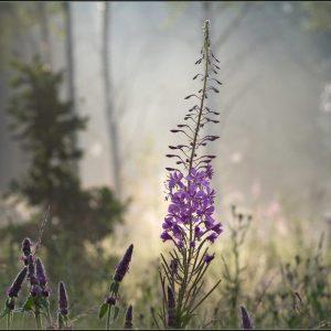 цветок иван-чай