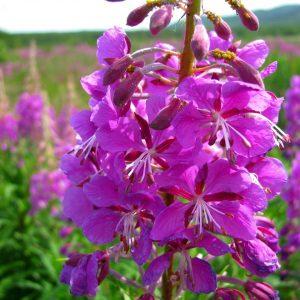 как выглядят цветы иван-чая