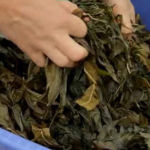 Как заготовить иван-чай правильно и просто