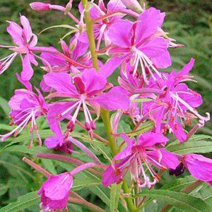 Лечебные свойства цветов иван-чая – насколько они велики