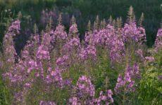 Растение Кипрей: в чем его польза