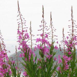 Сбор иван-чая, когда собирают растение и как это делать