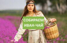 Видео о том, как собирать Иван-чай правильно и быстро